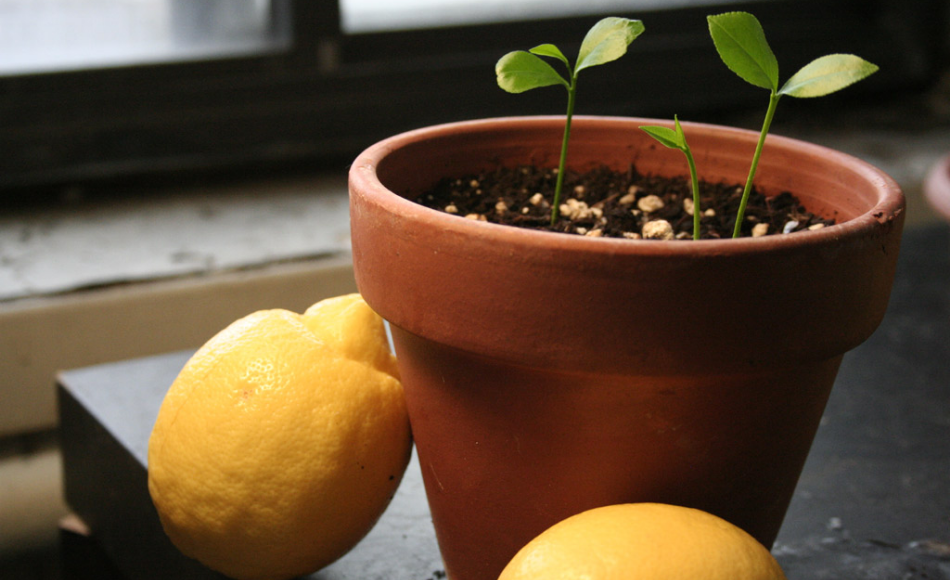 Newly germinated lemon plant in a terracotta container along with the two lemon fruits beside the pot.