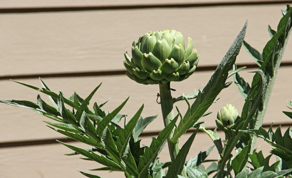 Artichoke with two flower buds.