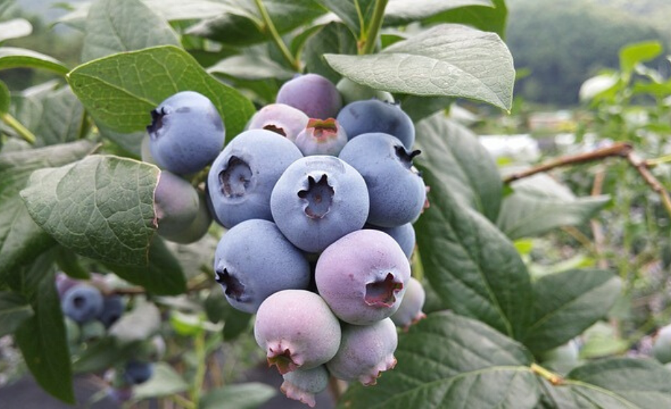 A cluster of blueberries on a farm.