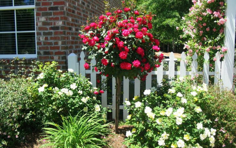 Red roses with a bouquet-like structure and white tiny companion flowers in the backyard garden.