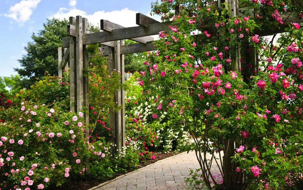 A wooden pergola with pink climbing rose at the entrance of the pathway.