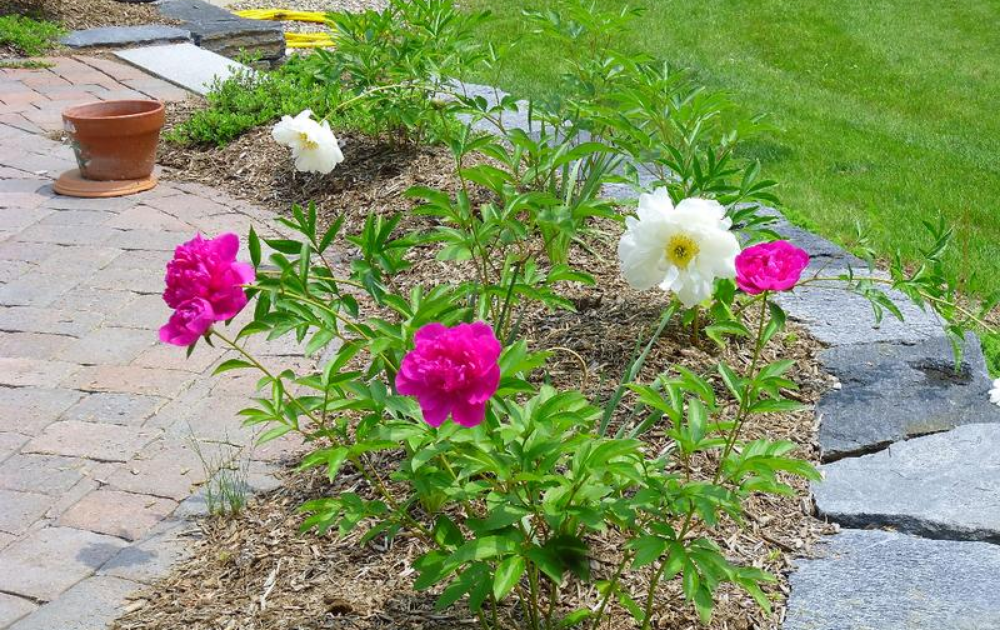 Pink and white roses planted in a small garden bed.