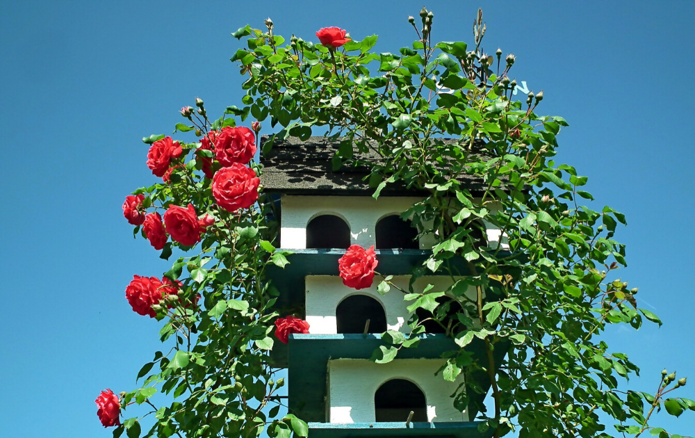 Wooden birdhouse with red climbing roses.