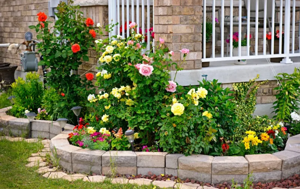 Roses in various colors with a curve shaped garden border.