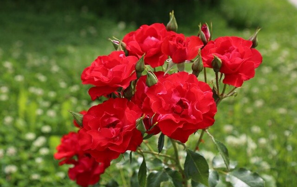 A cluster of red rose flowers.