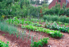 Five sets of garden beds with different types of growing vegetables.