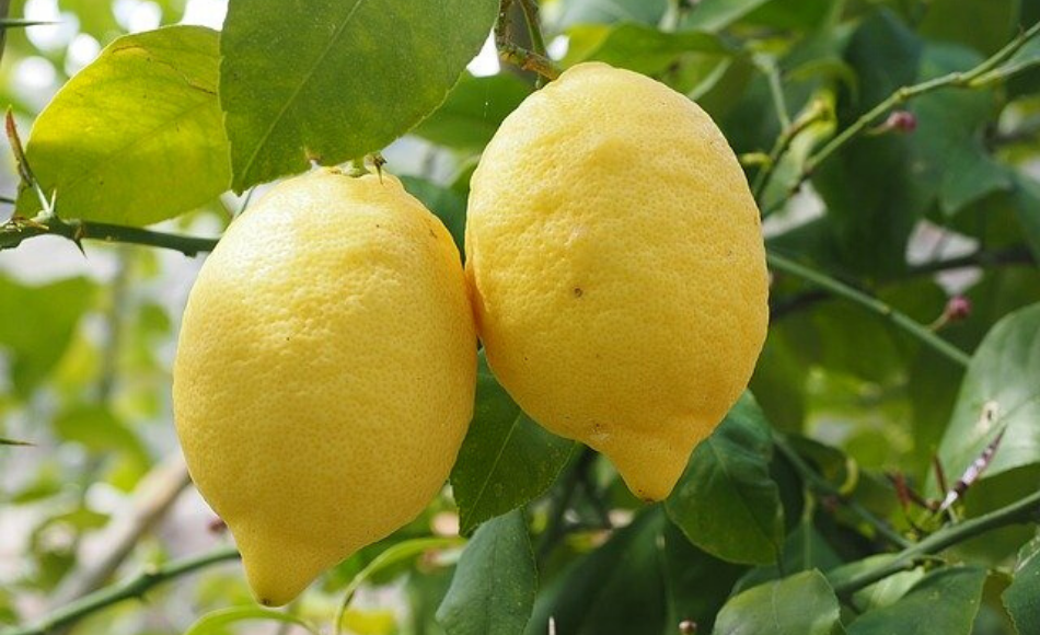 Two pieces of ripe lemon fruit dangling from a tree.