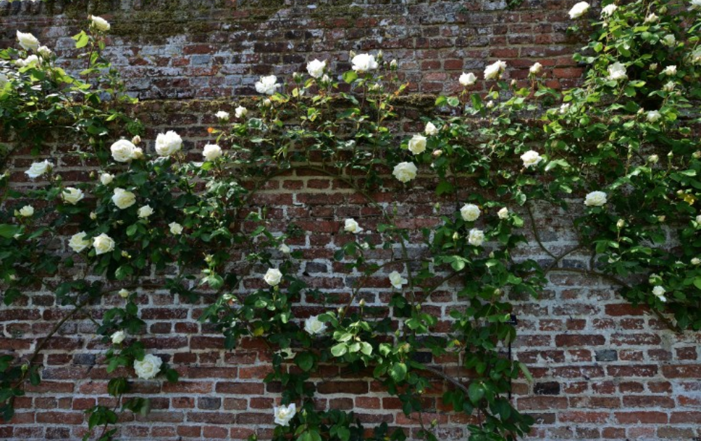 White climbing roses on a brick wall.