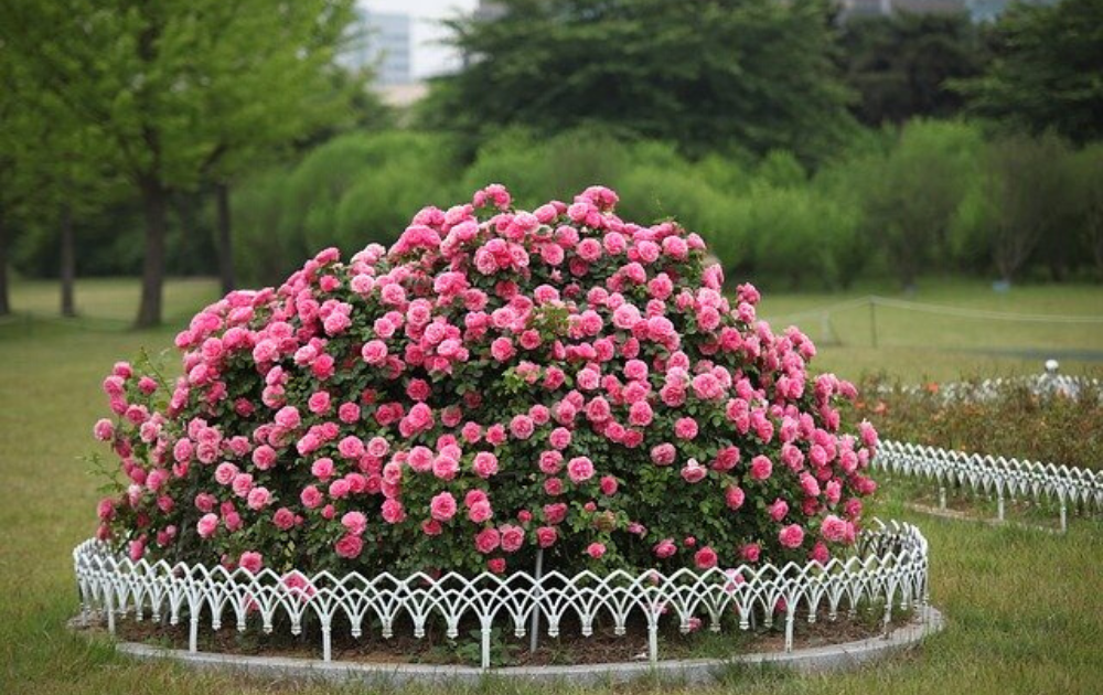 Well-shaped pink rose shrubs with a round white perimeter.