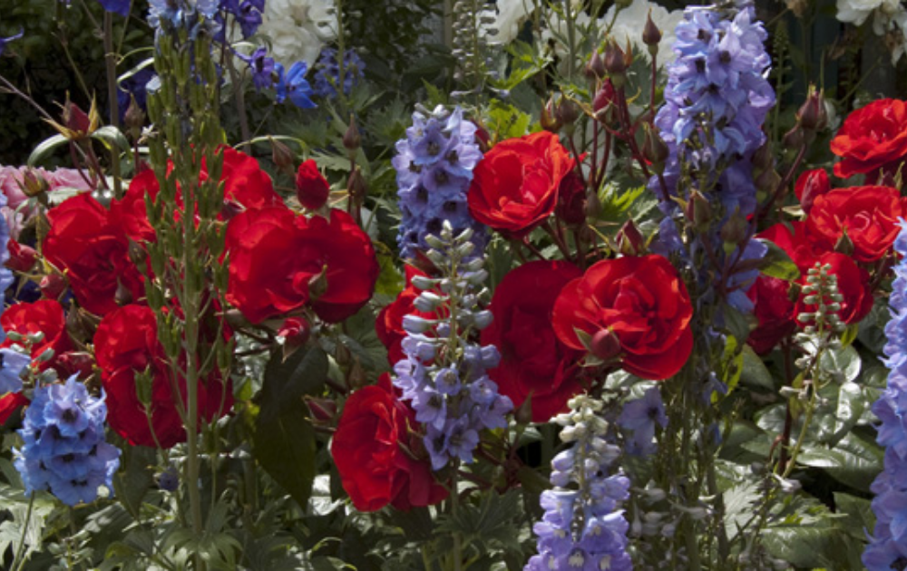 Red rose flowers with blooming lavender in a garden.
