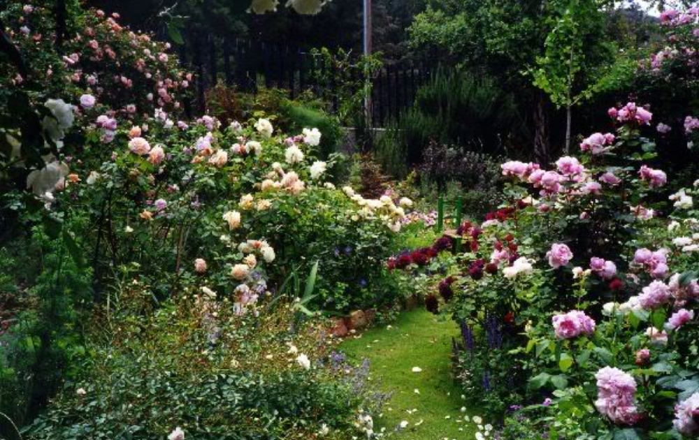 Roses with cream and pink flowers planted in a spacious garden.