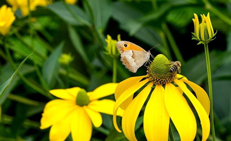 A bee and a butterfly sips the nectar out of the yellow coneflowers.