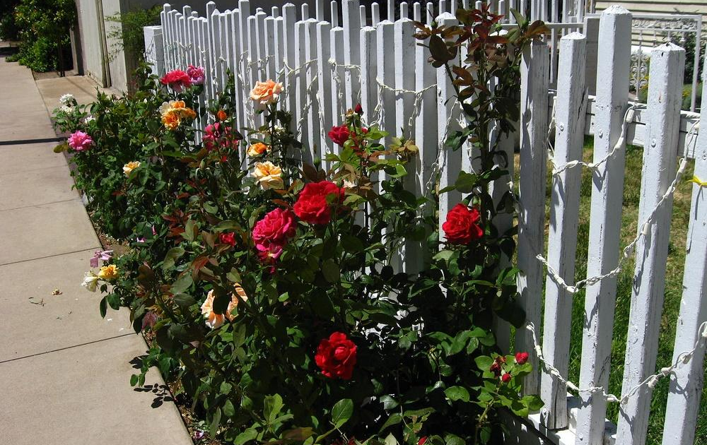 Roses in various shades growing outside a white painted picket fence.