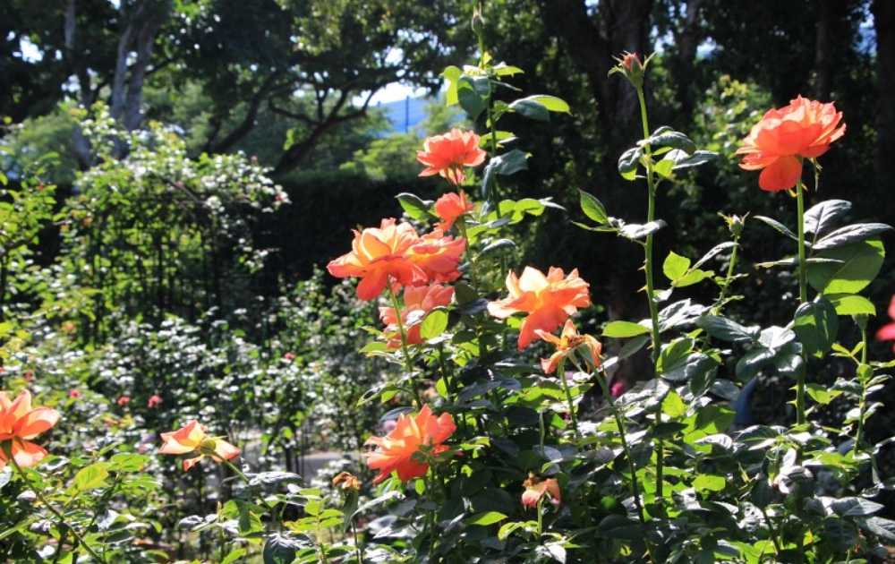Rose garden in Taipei with orange blooms