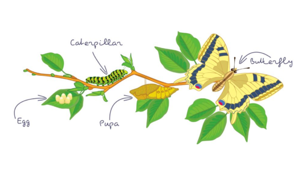 The life cycle of the butterfly.