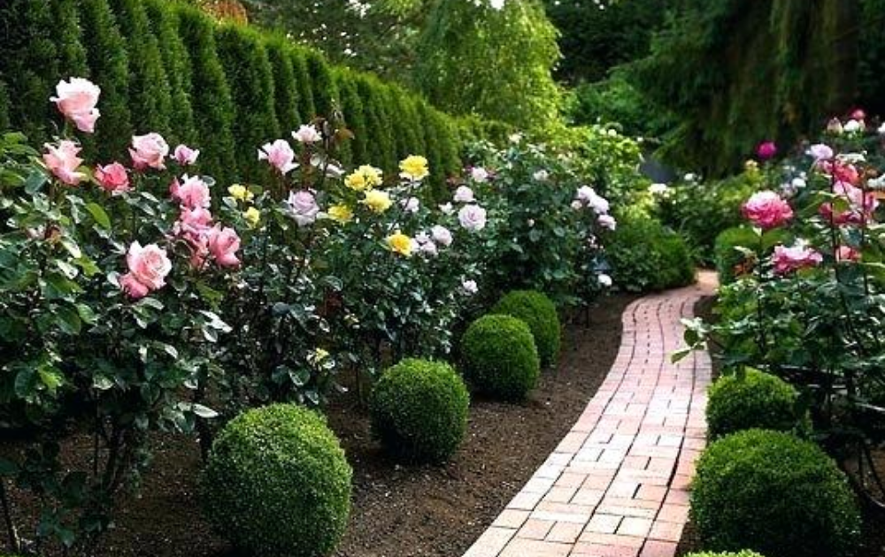 Brick pathway framed with colorful roses along with round-shaped shrubs.