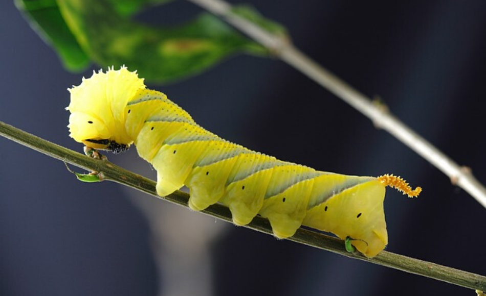 Hairy head yellow caterpillar with orange furry tail feeds on the entire leaf from a stalk.
