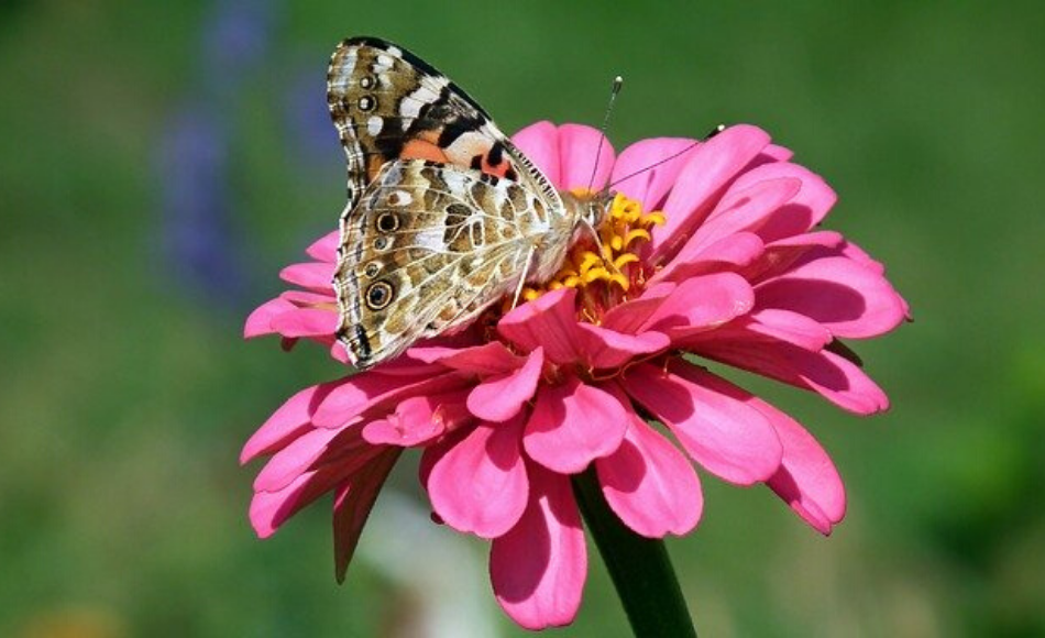 A butterfly feeds from the nectar of a pink daisy.