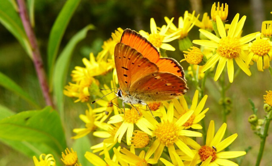 An adult orange black-spotted butterfly feeds on the nectar of yellow flowers.