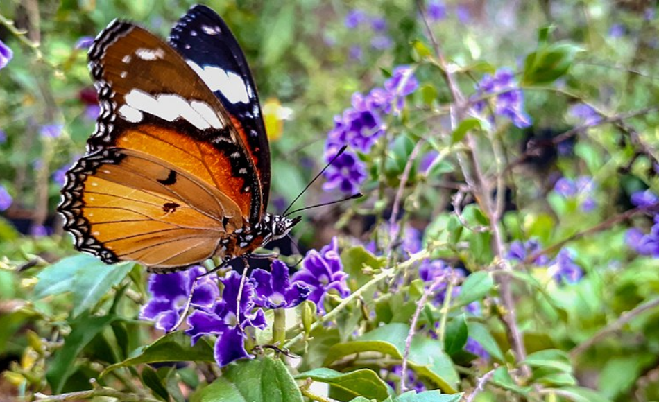 An adult monarch butterfly feeds the nectar of purple blooms.
