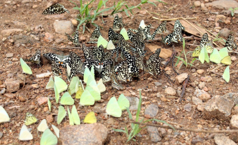A group of butterflies puddling in the ground.