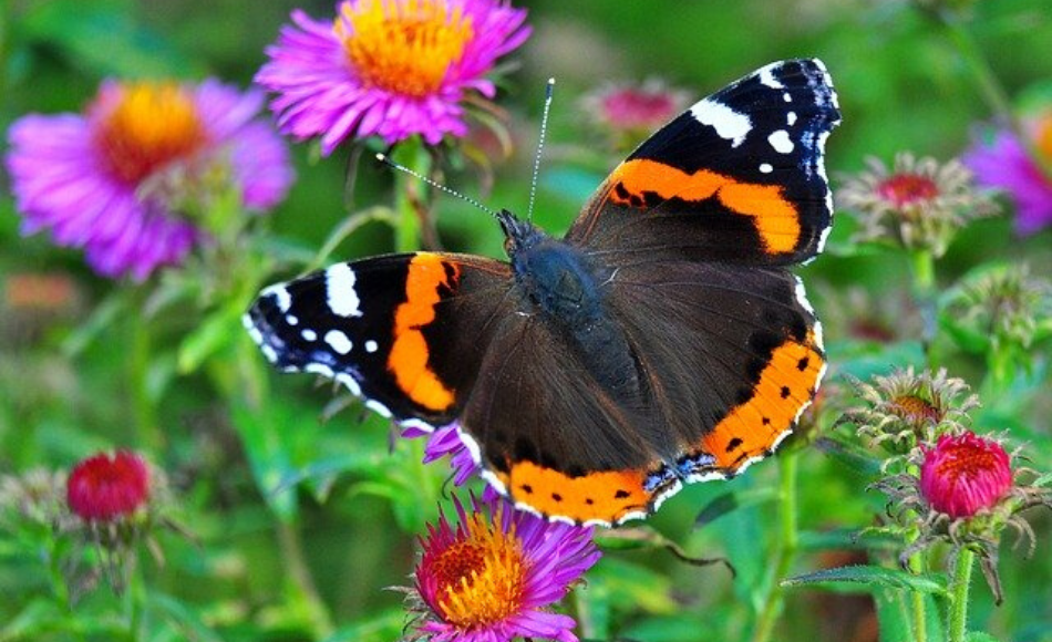 A female butterfly flapping over the colorful flowers in the garden.