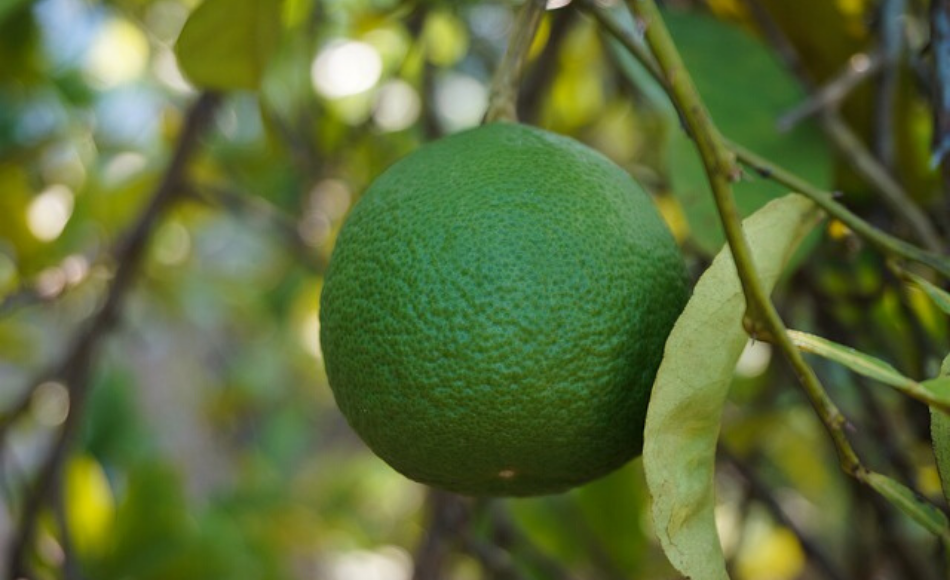 One sweet lime fruit hanging from a tree.