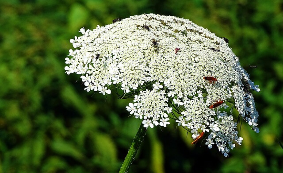 A large umbrella-like white yarrow flower with tiny insects feeding on the top.