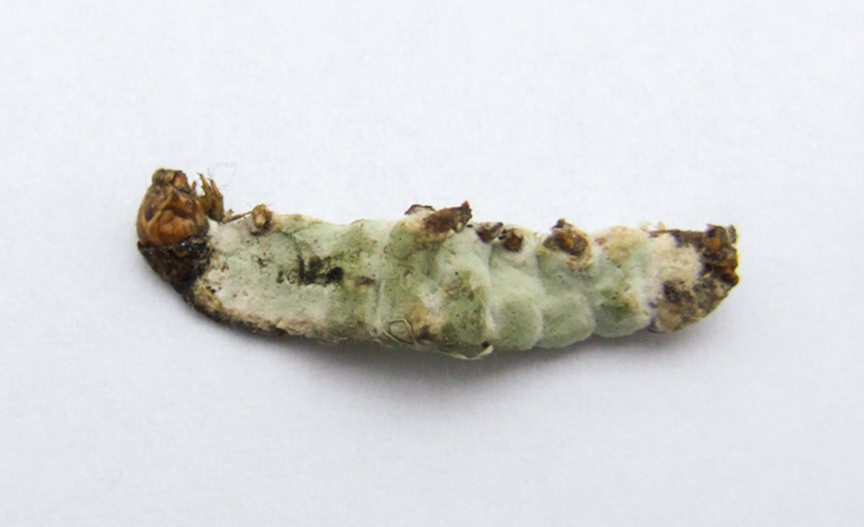 A lifeless caterpillar due to insect spray.
