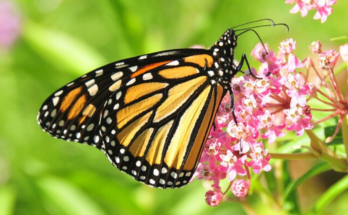 Monarch butterfly sipping the nectar of milkweed flowers.
