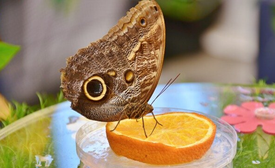 Owl butterfly feeds on the nectar of an orange in a mini-dish glass feeder.
