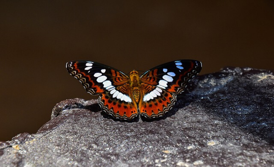 A black-orange adult butterfly with white spots on its wings resting on top of a flat stone.