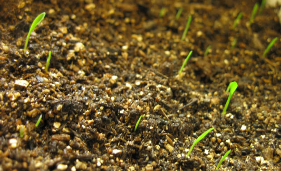 Newly sprouted lemongrass in a seedbed.