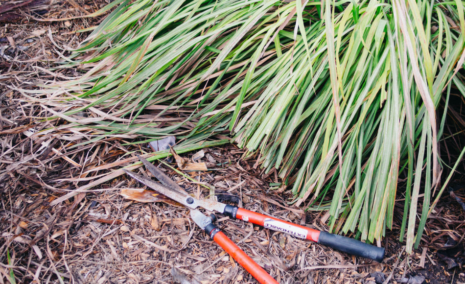 A black-orange handled lopper and a cluster of lemongrass in the garden.