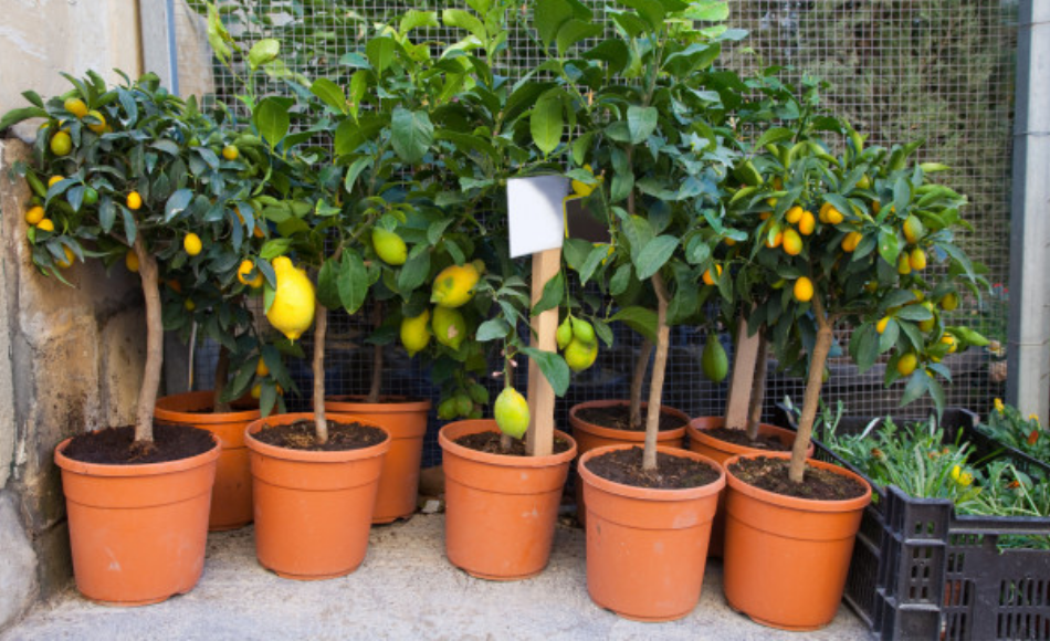 Nine potted citrus plants growing in plastic containers.