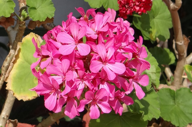 A cluster of pink geranium flowers.