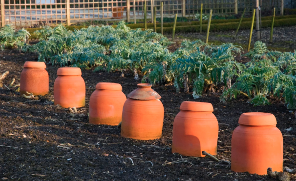 A row of terracotta forcing pots in a garden.