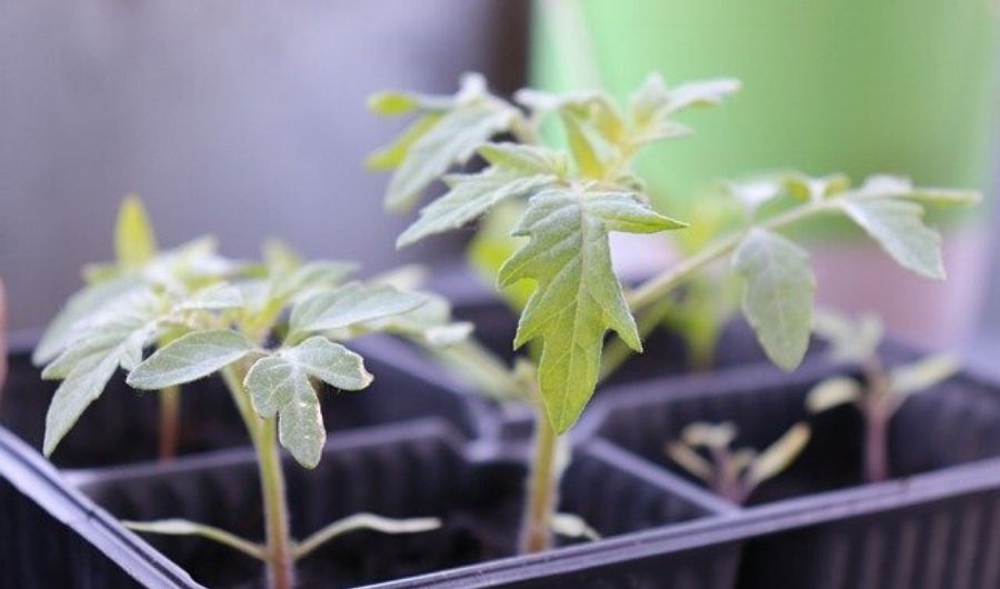 Tomato seedling replanted in a black plastic container.