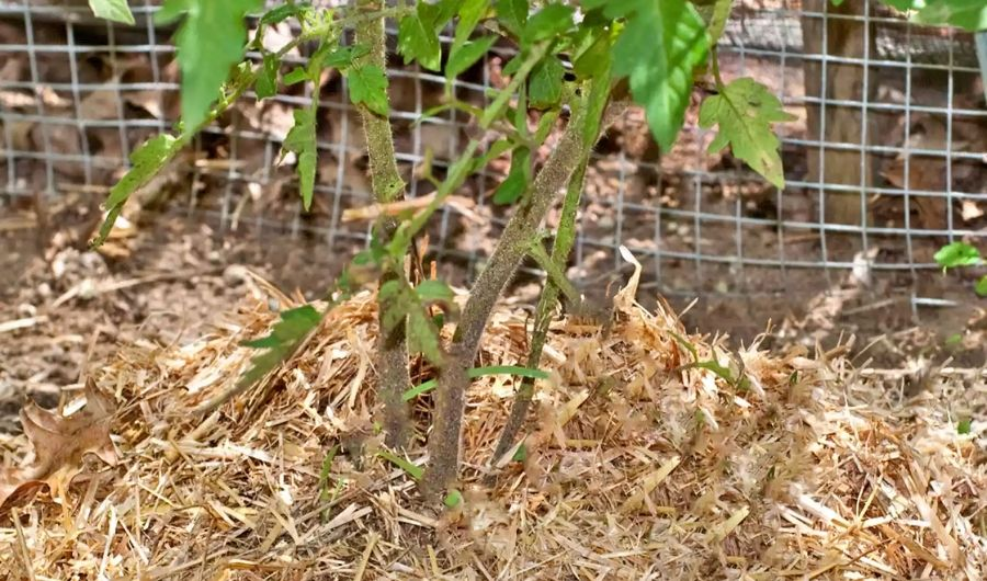 Tomato plant with straw mulch among the base.