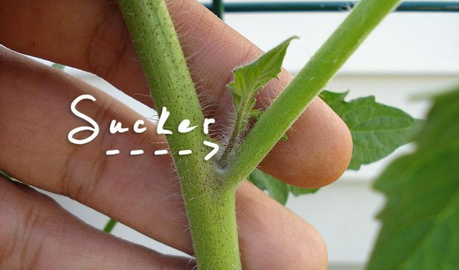 Hand holding a tomato plant stem with a sucker in the limb.