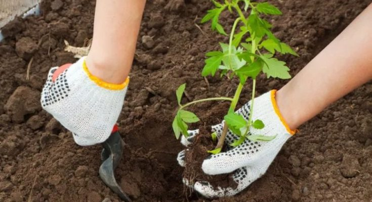 Left hand holding tomato seedling and the right hand digging a hole using the trowel.
