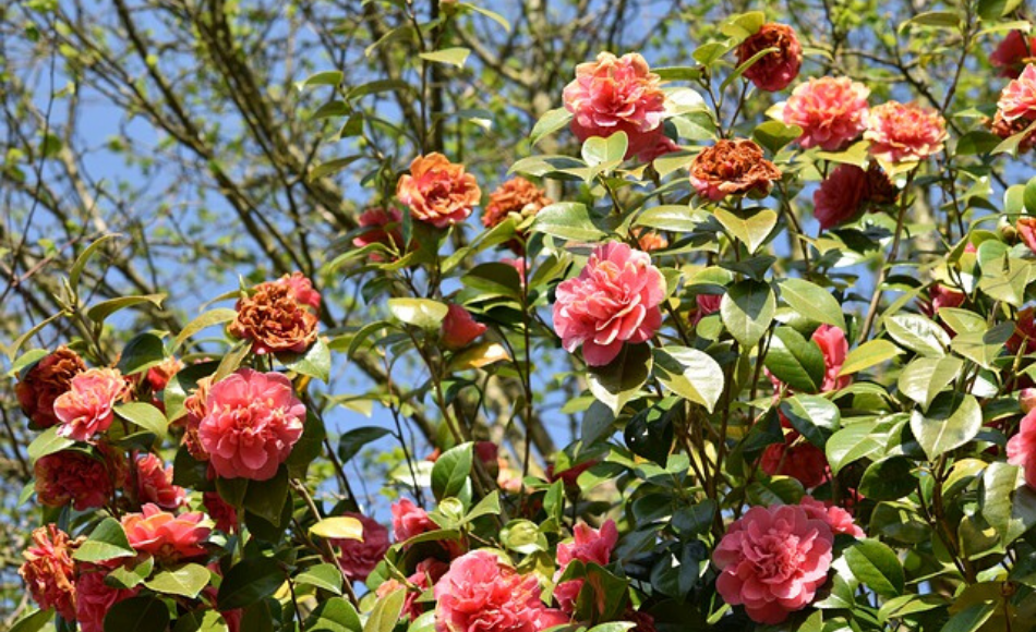 Camellias in bloom with a few dying flowers.