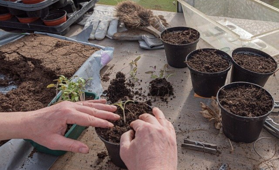 A gardener repotting seedlings in five black plastic containers.