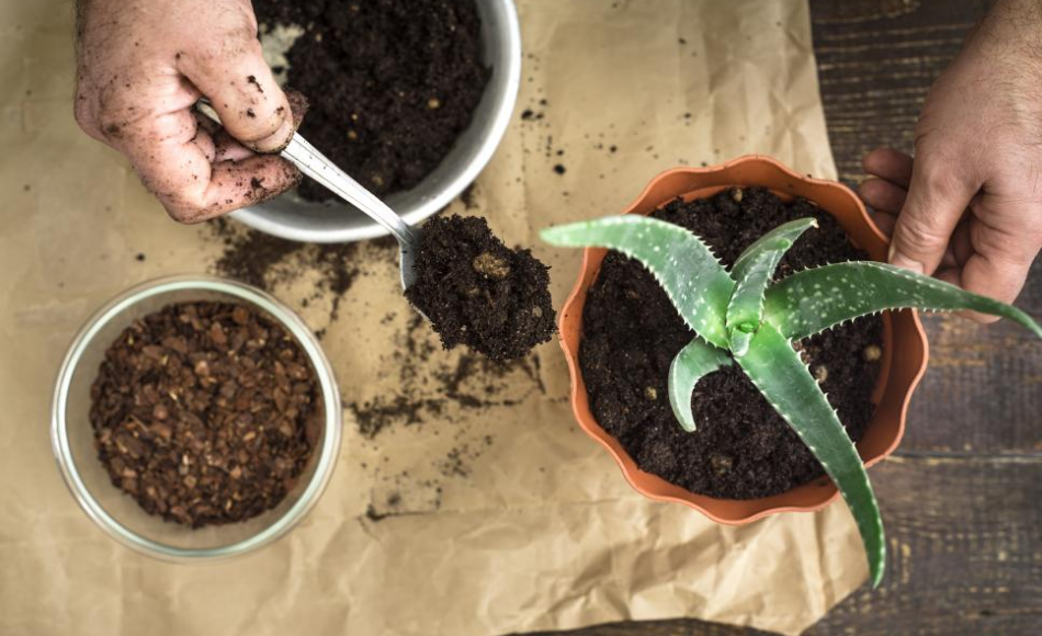 Repotting aloe vera plant from white ceramic container to an orange plastic container.