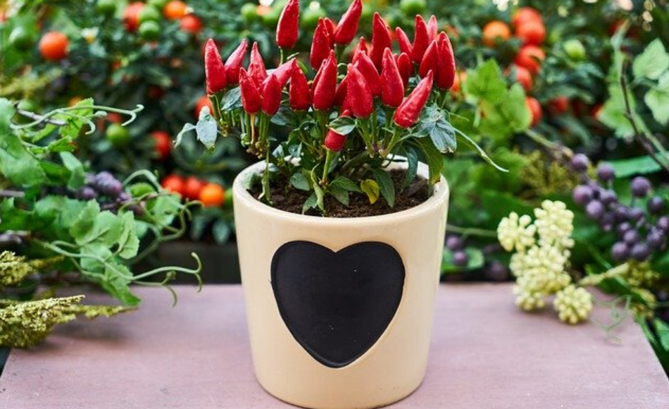 Plenty of fruits of a red pepper plant potted in a cream colored ceramic container designed with a black heart.