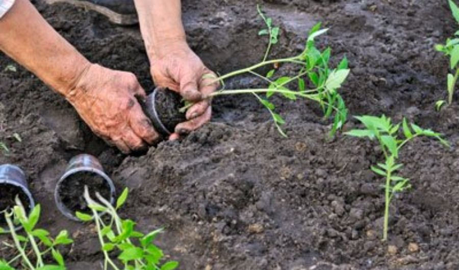 Tomato grower transplanting tomato seedlings into a garden bed.