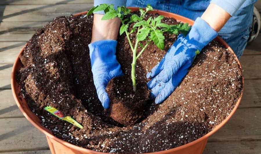 Tomato grower transplanting tomato seedling into medium-size, orange, and oval plastic container pot.