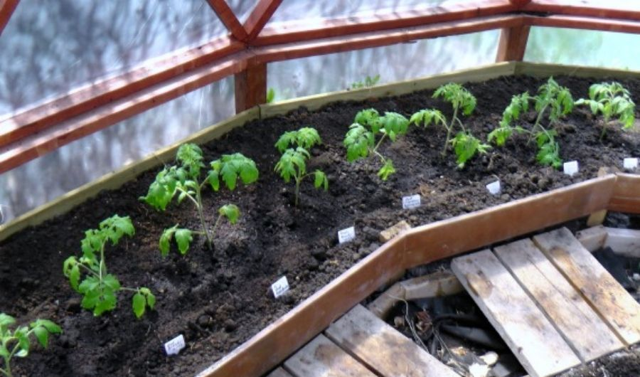 Newly transplanted tomato seedlings inside a greenhouse.