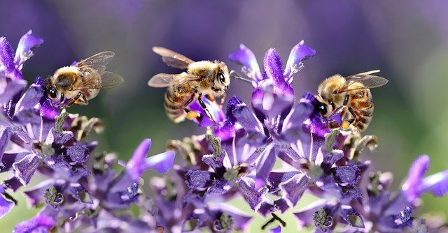A group of three bees feeding the nectar out of the purple salvia flowers.