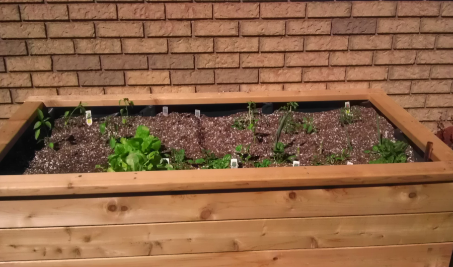 Newly transplanted vegetable seedlings into a wooden self-watering planter box.